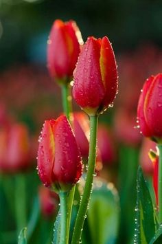 tulips garden care New Images Tulip fondos Concepts Prolonged live the tulip ! Seed this colorful pride now lets talk about a pleasant present in early sprin Red Tulips, Tulips Flowers, Flowers Nature, Pretty Flowers, Spring Flowers, Beautiful Flowers Garden, Exotic Flowers, Amazing Flowers, Beautiful Gardens