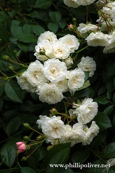 shades ground cover roses and roses on pinterest. Black Bedroom Furniture Sets. Home Design Ideas