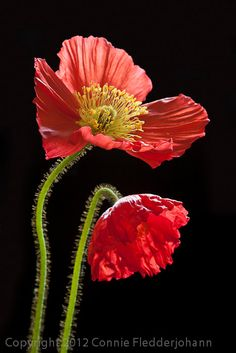 2 Oriental Poppies by PetalProfusion on Etsy