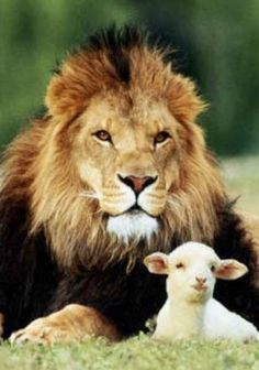 """The lamb and the lion are two of my favorite things!  """"…love thy neighbor as thyself"""" ~ Mark 12:31 ~"""