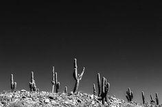 Pampa Cactus #14