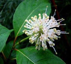 Cephalanthus; kogelbloem lokt vlinders en bijen met geurende witte bloemen - struiken snoeien Cephalanthus - soorten witte bloemen die geuren - vermeerderen Cephalanthus occidentalis