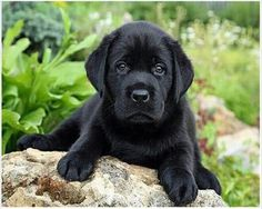 Mind Blowing Facts About Labrador Retrievers And Ideas. Amazing Facts About Labrador Retrievers And Ideas. Labrador Retrievers, Black Labrador Retriever, Golden Retriever, Golden Labrador, Retriever Puppies, Black Lab Puppies, Cute Puppies, Cute Dogs, Dogs And Puppies