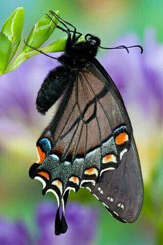 Beautiful Eastern Tiger Swallowtail Butterfly!