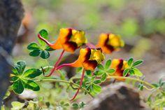 Types Of Soil, Types Of Plants, Climber Plants, Small Yellow Flowers, Architectural Plants, Purple Tips, Hummingbird Garden, Buy Plants, Mediterranean Garden