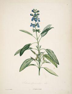gravures_botanique_Rousseau_-_153_salvia_officinalis_-_sauge_officinale.jpg (1573×2048)