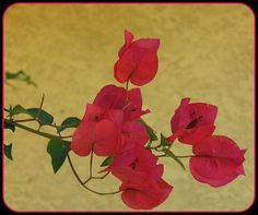 Bougainvillea Wallflowers