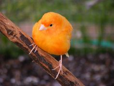 A Red-Factor Canary. Lovely coloring. So fat...so cute.