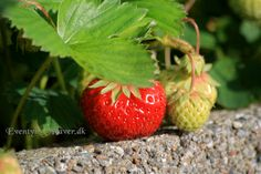 First strawberry of the year