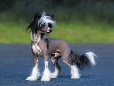 5 (Vintage) Mexican Dog Breeds: More Famous Than Tequila Best Small Dog Breeds, Best Small Dogs, Dog Breeds That Dont Shed, Top Dog Breeds, Best Dogs, Chinese Crested Powder Puff, Chinese Crested Dog, Airedale Terrier, Chow Chow