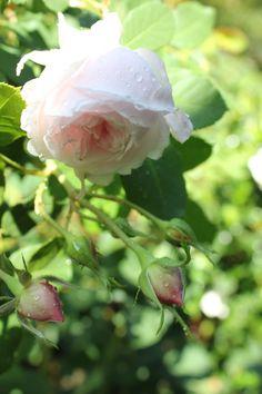 Coquettes des Blanches antique rose:  Bourbon c. 1871