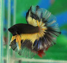Yellow black butterfly OHM male