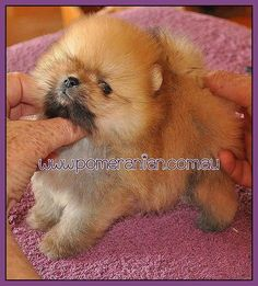 Orange #pomeranian Puppy