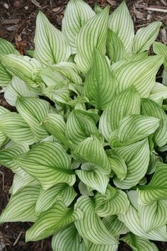 "Hosta 'Zebra Stripes' - An 8"" tall x 28"" wide clump of white foliage adorned with frosty green veins. The clumps are topped with 20"" scapes of lavender flowers in midsummer. Hostas from this breeding line tend not to fare as well in climates that have very cool spring temperatures. With good morning sun, the white foliage color holds better, where plants in deeper shade turn green much sooner in summer."