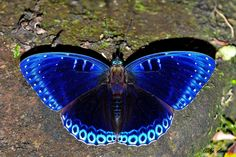 Popinjay(Stibochiona nicea) photographed by Ngangom aomoa at Cherrapunjee, Meghalaya, India on October 2015 Most Beautiful Butterfly, Beautiful Bugs, Cool Insects, Bugs And Insects, Beautiful Creatures, Animals Beautiful, Cute Animals, Butterfly Wallpaper, Blue Butterfly