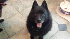 Meet Onyx, a Petfinder adoptable Schipperke Dog | Bloomfield, MI | Meet Onyx.  He is a 12 yr old male, the product of a messy divorce.  He was an only dog, and has...