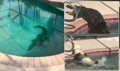 Family in Florida finds an eight-foot alligator in their backyard swimming pool