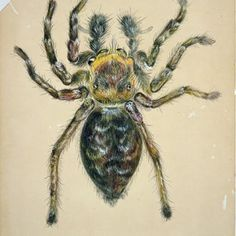 Beatrix Potter (1866–1943) Magnified Study of a Male Jumping Spider, December 18, 1886 Watercolor, pen-and-ink over pencil, heightened with white, on tinted board Cotsen Children's Library. Department of Rare Books and Special Collections. Princeton University Library Photography: Princeton University Library