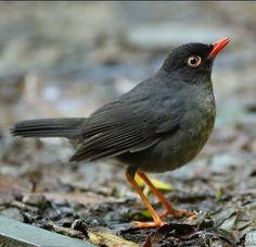 Slaty-backed Nightingale-thrush (Catharus fuscater) - found in Bolivia, Colombia, Costa Rica, Ecuador, Panama, Peru and Venezuela. Nightingale Bird, Birds 2, Hummingbirds, Bolivia, Ecuador, Costa Rica, Peru, Panama, Animals