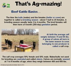 Beef Cattle Basics