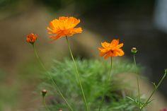 Flowers in my Garden     058 by cubie271, via Flickr