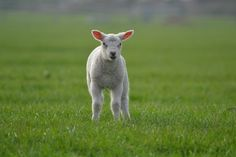 Ull til baby og barn, hvorfor er ull så bra å bruke? Farm Animals, Animals And Pets, Beauty Hacks Blackheads, Sheep House, Lamb Cuts, Spring Lambs, Organic Meat, Sheep Farm, Good Day Song