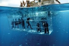 "MY DREAM BUCKET LIST ITEM-CAGE DIVE/SCUBA in South Africa with the Great Whites.   ""The Great White Shark is a surface feeder and thus all the activity takes place on or very close to the surface, due to this, the surface viewing from the boat is excellent.    You do not need any diving certification to do the cage dive.  We limit the numbers per trip to exclusively '12' to insure each of our divers receives maximum 'Cage' time! (A larger vessel can be chartered if teams/groups exceed this…"