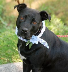 BELLA is an adoptable american staffordshire terrier searching for a forever family near Westport, CT. Use Petfinder to find adoptable pets in your area.