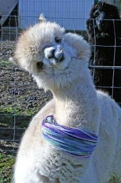 What a personnel alpaca's have. What a personnel alpaca's have. Cute Funny Animals, Funny Animal Pictures, Cute Baby Animals, Animals And Pets, Alpacas, Cute Alpaca, Llama Alpaca, Alpaca Funny, Funny Llama