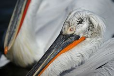 the eye of pelican