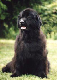 Terra-Nova ou Newfoundland - Guia de Raça de Cachorro - Dog Times