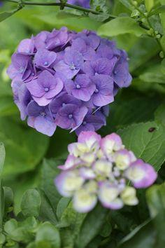 https://flic.kr/p/W62TWr | hydrangea | in our garden