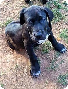 1030 Best Mastiff Images Pet Adoption Animal Rescue Dog Cat