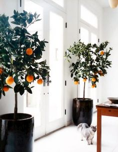 Citrus Trees - Orange - Indoor Tree - and look, their cat gets along fine with their trees!  Maybe the tall pots help. . .