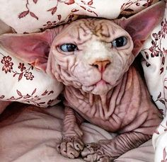 Unique Animals, Cute Little Animals, Sphynx Cat, Hairless Cats, Scary Cat, Cute Lion, Cavalier King Charles, Bored Panda, Creative Art