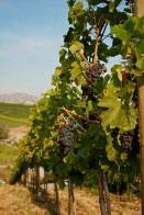 Tunnel Hill Winery - The Vineyards #lakechelanwine