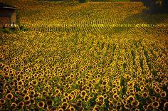 field of sunflowers, Italia