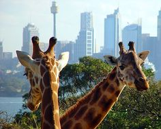 From the Taronga Zoo in Sydney, Australia. Visited there when Jenny was living in Gosford, north of Sydney.