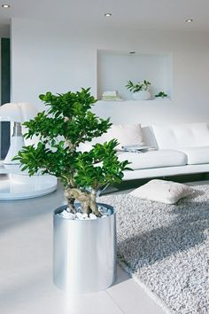 Benjamin houseplant In the living room the Middle