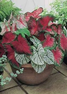 3 RED mix Caladium Facncy collection large PREMIUM bulbs easy to grow Container Flowers, Flower Planters, Container Plants, Container Gardening, Flower Pots, Succulent Containers, Vegetable Gardening, Fall Planters, Flower Seeds
