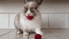 Rabbit Eating Raspberries