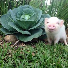 pretty little pig standing next to a cabbage