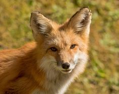 """The Red Fox - It was then that the fox appear (...)  """"Who are you?"""" asked the little prince, and added, """"You are very pretty to look at.""""  """"I am a fox,"""" the fox said.  """"Come and play with me,"""" proposed the little prince. """"I am so unhappy.""""  """"I cannot play with you,"""" the fox said. """"I am not tamed."""" (...)  """"What does that mean--'tame'?""""  """"It is an act too often neglected,"""" said the fox. It means to establish ties.""""  """"'To establish ties'?""""  """"Just that,"""" said the fox. """"To me, you are still…"""
