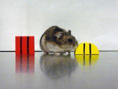 Biologists explore link between memory deficit and misfiring circadian clock in Siberian hamsters
