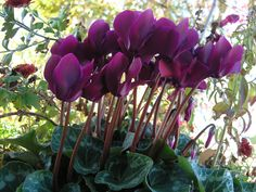 Cyclamen. Quite possibly the most interesting flower