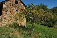 Il n'y a que moi, pour cueillir les pêches de vigne du vieux verger quercinois