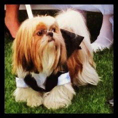 Shih tzu in a tuxedo! Photo by Sierra Blanco Photography, wedding at McCormick Ranch Golf Club in Scottsdale, Arizona.  Puppy tuxedo from Mackie's Parlor.