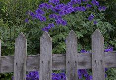 Cottage Garden Boundaries - wooden picket fence with flower beyond
