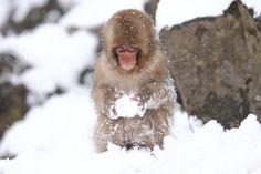 "Child Monkey is Making a Snow Ball. Snow monkey at ""Jigokudani hot-spring"" in Nagano, Japan. Funny Animal Images, Funny Images, Funny Animals, Funny Pictures, Jigokudani Monkey Park, Japanese Macaque, Snow Monkey, Animal Facts, Snow"