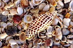 The rare junonia shell is considered the ultimate find by Sanibel Island shell collectors. Photo courtesy of Island Vacations of Sanibel and Captiva, Florida.